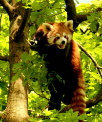 Red Panda by Toodleena