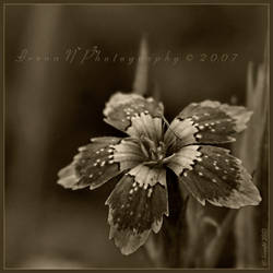 'Dianthus' in brown by Irena-N-Photography