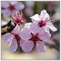 Prunus by Irena-N-Photography