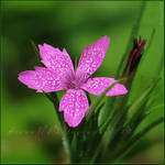 Pink by Irena-N-Photography