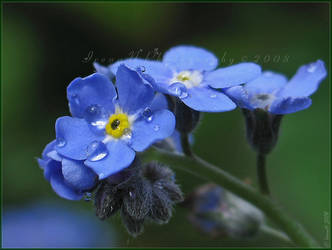 Forget-Me-Not by Irena-N-Photography