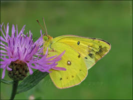 'Colias' by Irena-N-Photography