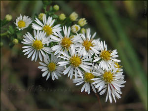 'Frost Aster'