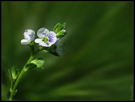 Gypsyweed by Irena-N-Photography