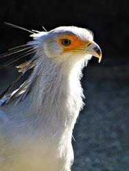 Secretary bird by Salmicka