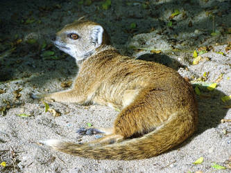 Yellow mongoose by Salmicka
