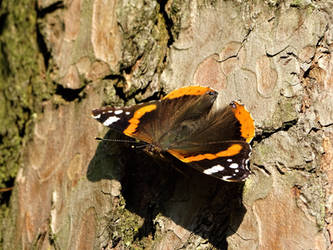 Red admiral by Salmicka
