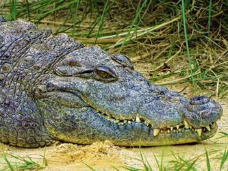 Nile crocodile by Salmicka