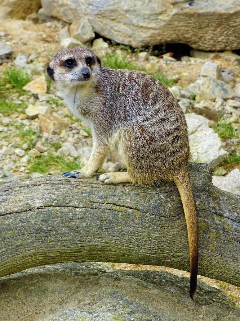 Meerkat by Salmicka