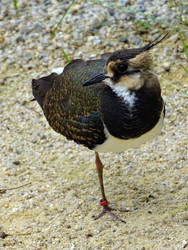 Lapwing by Salmicka