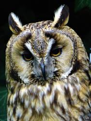 Long eared owl by Salmicka