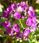 Purple Baby's Breath