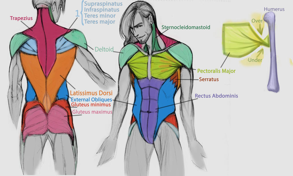 Torso Major Muscles by IllustrationMinion on DeviantArt