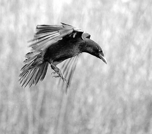 Crow in Flight by Morg...