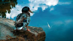 Duck's life - disturbed :(