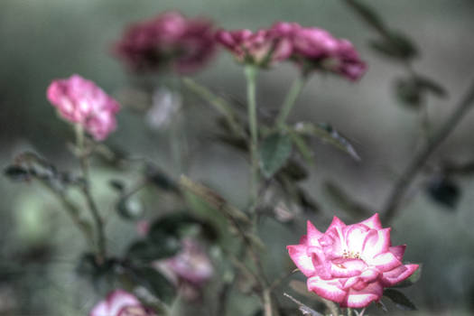 Tone Mapped Roses