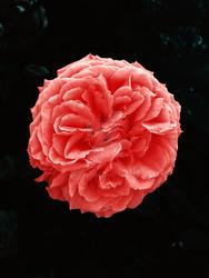 Red Rose ILG