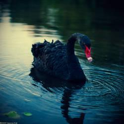 black swan by Togusa208