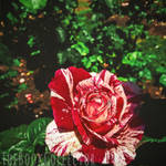 The Red Queen's Painted Roses II