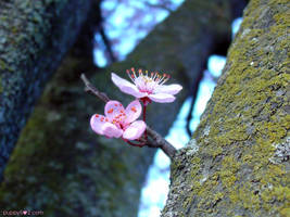 Cherryblossom by chun52