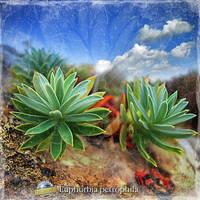 Euphorbia petrophila by inObrAS