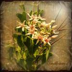 Swallowwort