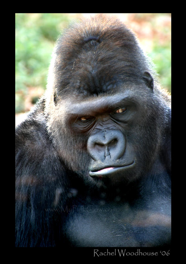Gorilla by tigeress66