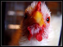 Portrait of a Chicken by RyanLovelacePhoto