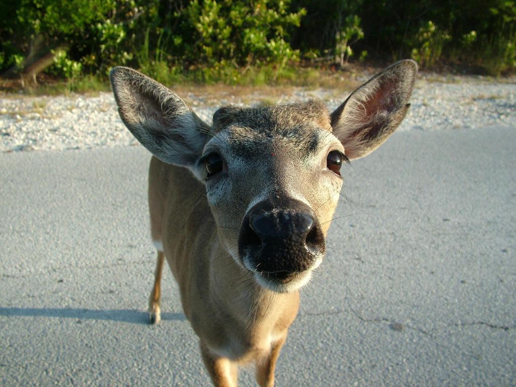Key Deer by lessjake333