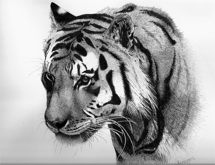 Tiger, pen and ink by nightingale5601 on DeviantArt