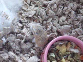 Baby Hamsters: Vanya