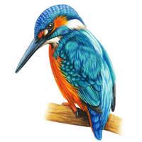hand drawn kingfisher bird