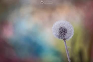 Dandelion by aleexdee