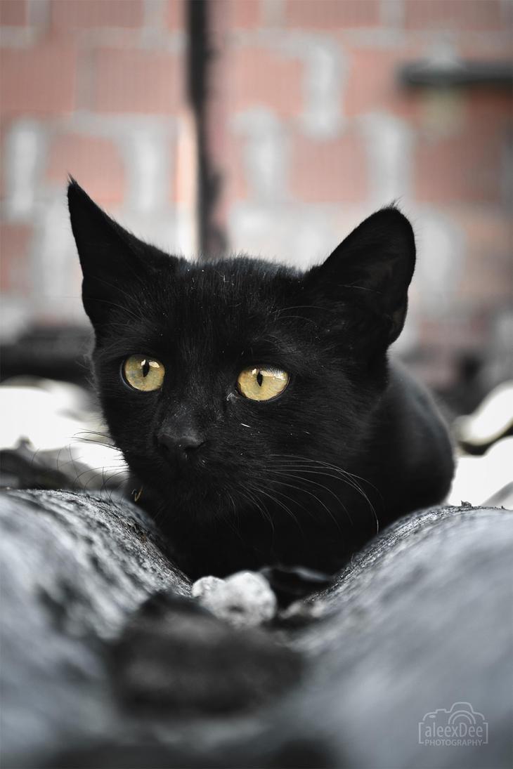 Black cat hunting by aleexdee