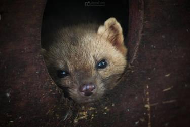 Cute weasel by aleexdee