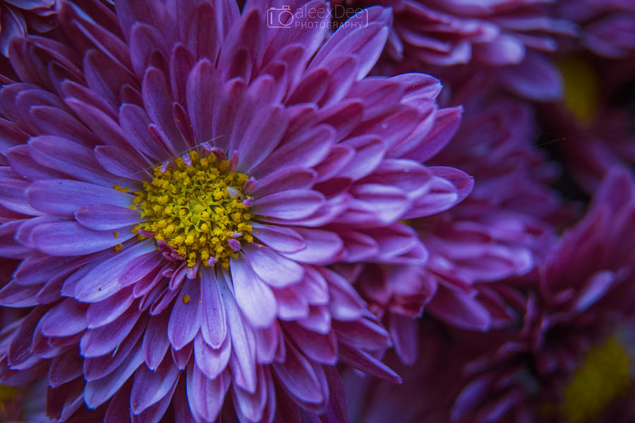 Purple Flower 2 by aleexdee