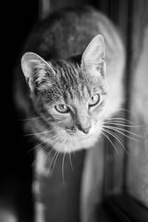 Black and white portrait of the cat