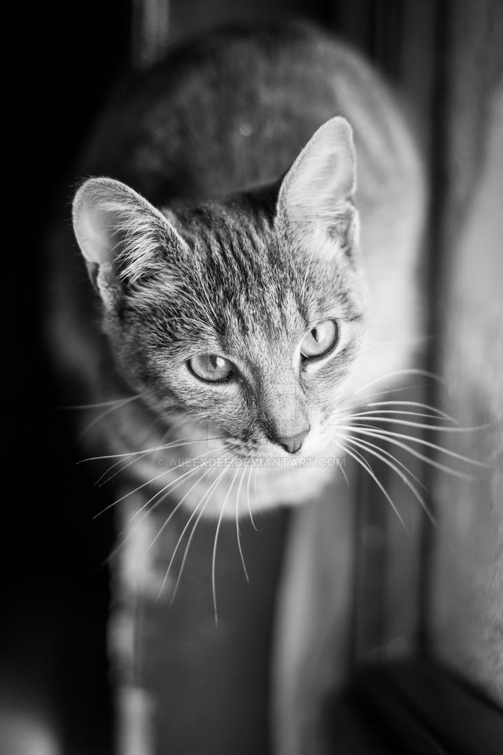 Black and white portrait of the cat by aleexdee