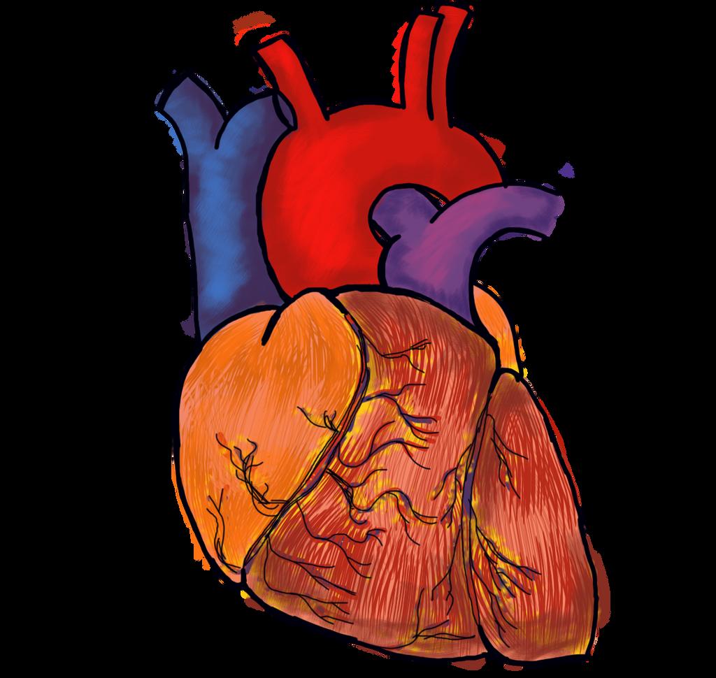 free clipart human heart - photo #42