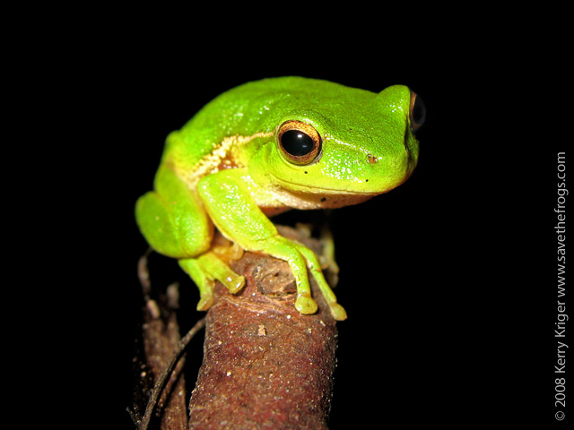 Leaf Green Tree Frog by savethefrogs on DeviantArt Green Tree Frogs Poisonous