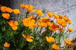 Springtime Poppies!