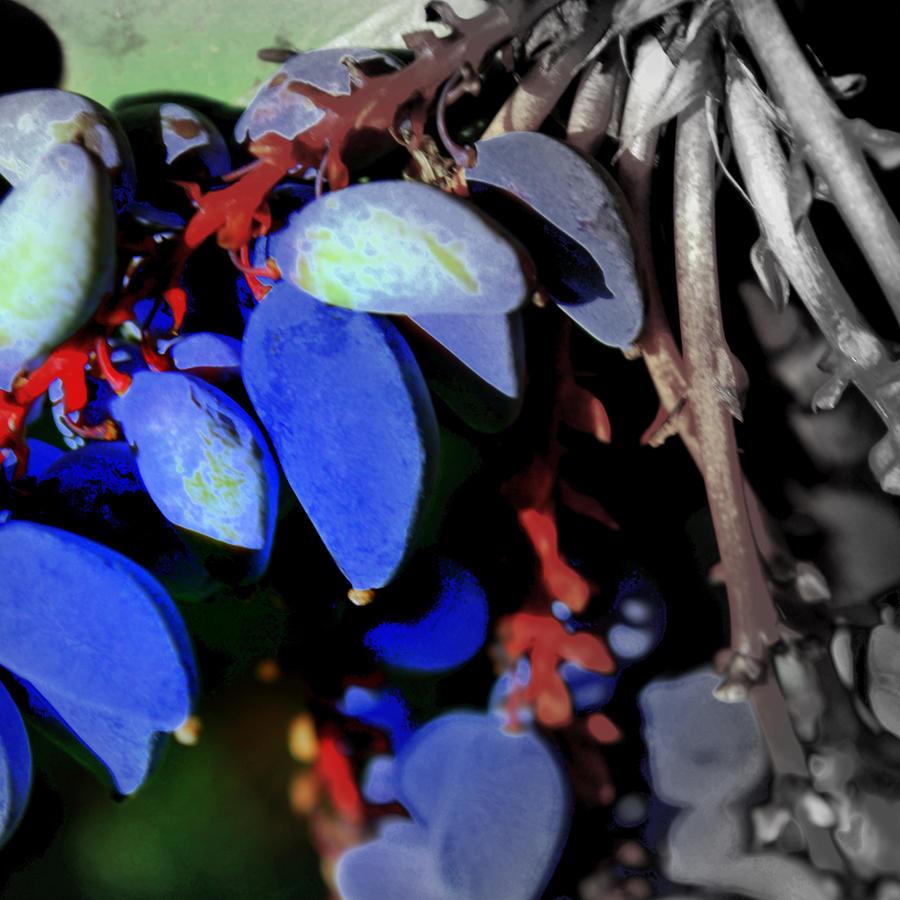Mahonia Berries - Native Organic Plants by rebeccamichellelee
