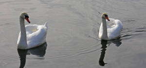 Pair of Swan by Sinitassu