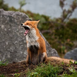 Fox by schnellfahrer
