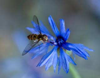 Schwebfliege - Hoverfly