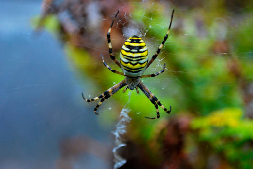 Wespenspinne - wasp spider