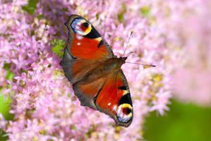 Pfauenauge - Peacock butterfly