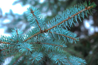 Pine Tree Branch by manders123