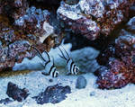 Banggai cardinalfish by m-faccone