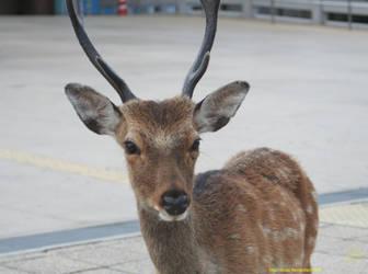 Red Deer - Cervo